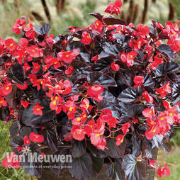 Begonia Viking™ XL 'Red on Chocolate'