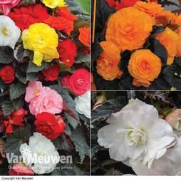Begonia x tuberhybrida 'Non-stop Mocca Trio'