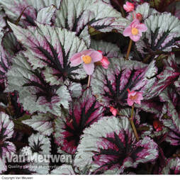 Begonia Hardy 'Evening Glow'