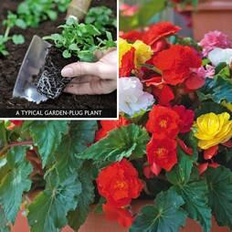 Begonia 'Non Stop' (Garden ready)