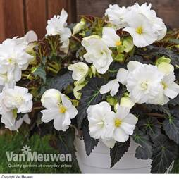 Begonia 'Nonstop Joy Mocca White'