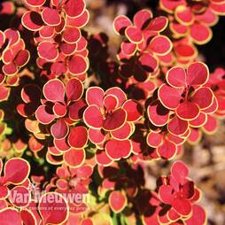 Berberis thunbergii 'Orange Sunrise'