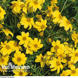 Bidens ferulifolia 'Golden Star'