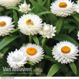 Xerochrysum bracteatum 'White'