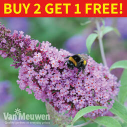 Buddleja Buzz® 'Candy Pink'