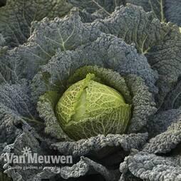 Cabbage Savoy Cordesa