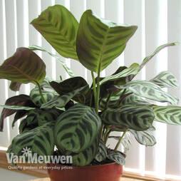 Calathea 'Freddy' (House Plant)