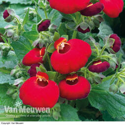 Calceolaria 'Calynopsis Red'