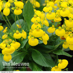 Calceolaria 'Calynopsis Yellow'