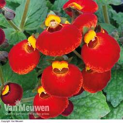 Calceolaria 'Calynopsis Yellow with Red'