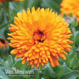 Calendula 'Spiky Orange'
