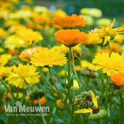 Calendula officinalis 'Fiesta Gitana Mixed'