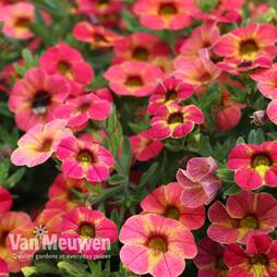 Calibrachoa Calita® 'Apricot Shades'