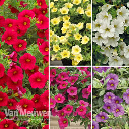 Calibrachoa 'Million Bells Mix'