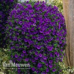 Calibrachoa 'Million Bells Blue'