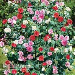Camellia 'Tricolour'