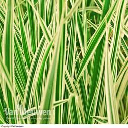 Carex hachijoensis 'Maxigold'