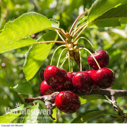Cherry 'Sylvia' (Mini Fruit Tree)