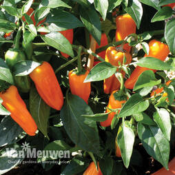 Chilli Pepper 'Cheyenne'