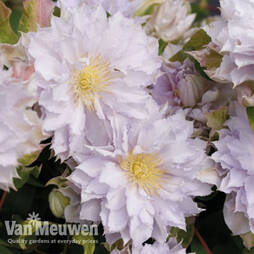 Clematis 'Dancing King'