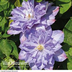 Clematis 'Blue Explosion'