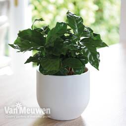Coffea arabica (House Plant)