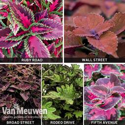 Coleus 'Main Street' Collection