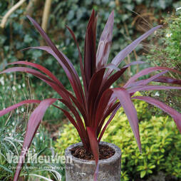 Cordyline 'Superstar'