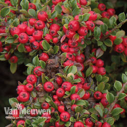 Cotoneaster horizontalis (Large Plant)