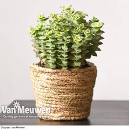 Crassula perforata (House plant)