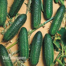Cucumber 'Corentine' (Grafted)