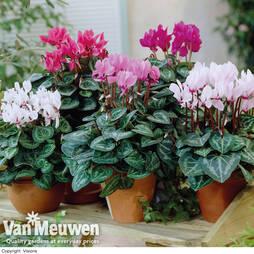 Cyclamen persicum Metis Series