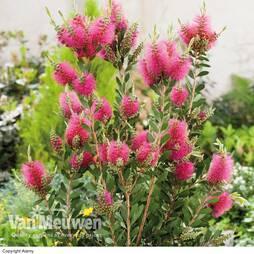 Callistemon viminalis 'Hot Pink'