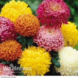Chrysanthemum 'Incurving Collection'
