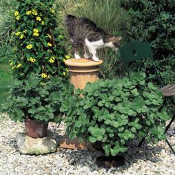 Scaredy Cat Plant