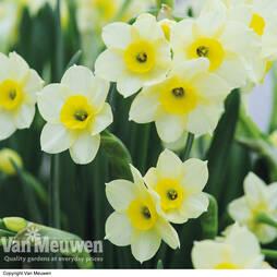 Daffodil 'Minnow'