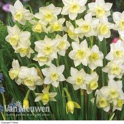 Daffodil jonquilla 'Pueblo'