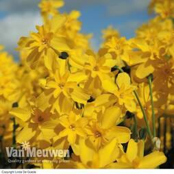 Daffodil cordubensis