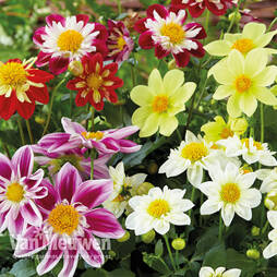 Dahlia 'Harlequin Mixed'
