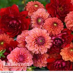 Dahlia 'Sunset Shades' Collection
