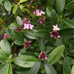 Daphne 'Sweet Amethyst'