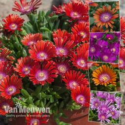 Delosperma 'Sundella' Collection