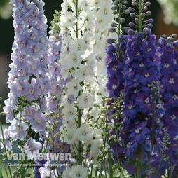 Delphinium 'Guardian Mixed'