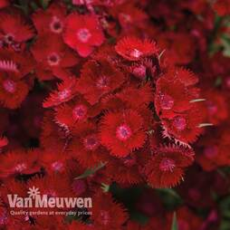 Dianthus barbatus 'Rockin' Red'