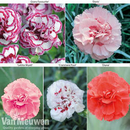 Dianthus 'Cottage Garden Collection'