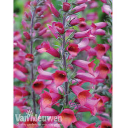 Foxglove Illumination 'Ruby Slippers'
