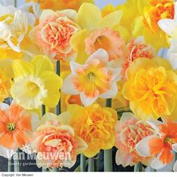 Daffodil 'Citrus Sorbet'
