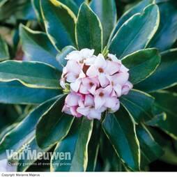 Daphne odora 'Aureomarginata'