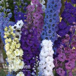 Delphinium 'Rising Stars Mixed'
