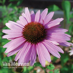 Echinacea 'Primadonna Rose'